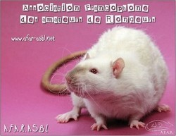 Carte postale - Rat