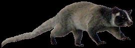 luwak-katze-bali