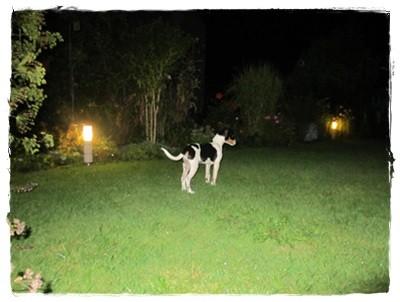 Coppa liebt die abendlichen Gartenrunden! Proteinreiches Futter (Insekten) an den Lampen wird spielerisch zu sich genommen.
