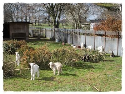 Ja - Ostern naht - so süße Zicklein auf dem Feld - gezählt hat Frauchen über 15!!! Ich war ganz ruhig - gegenüber sonst - da die Kleinen etwas Angst hatten.