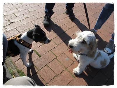 Oscar - ein Petit Basset Griffon Vendeen - sie haben sich auf Anhieb verstanden - oh Wunder - beide vier Monate alt :-)