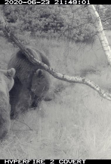 L'ós Goiat amb una óssa amb actitud de zel