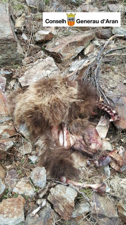 Restes en el camp de l'animal localitzat a la Vall d'Aran, amb una edat estimada d'any i mig.