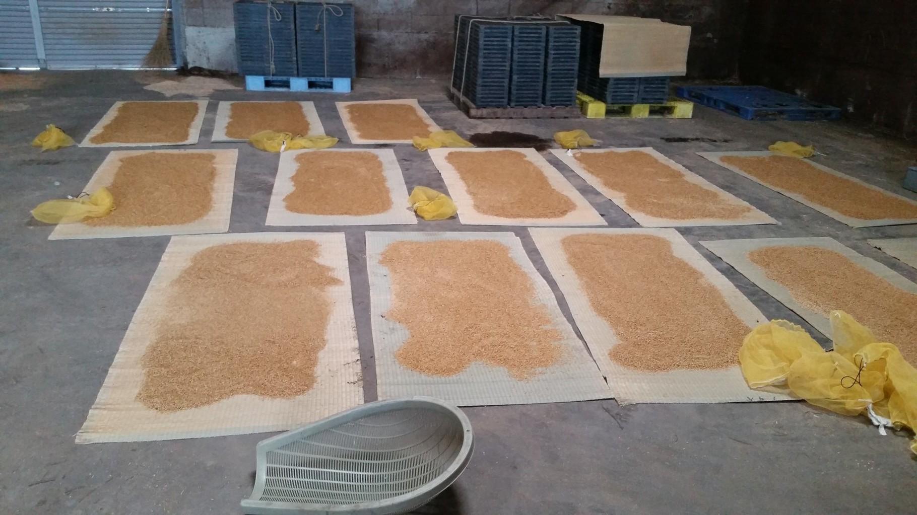 適切な水分量になるまでゴザに広げて乾燥させます。
