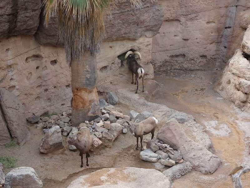 Moufflons de l'Arizona-Sonora Désert Museum