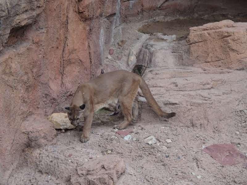 Lions de montagne de l'Arizona-Sonora Désert Museum