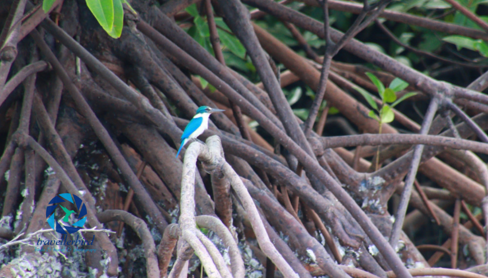 Halsbandliest (Todiramphus chloris) im Mangrovenwald