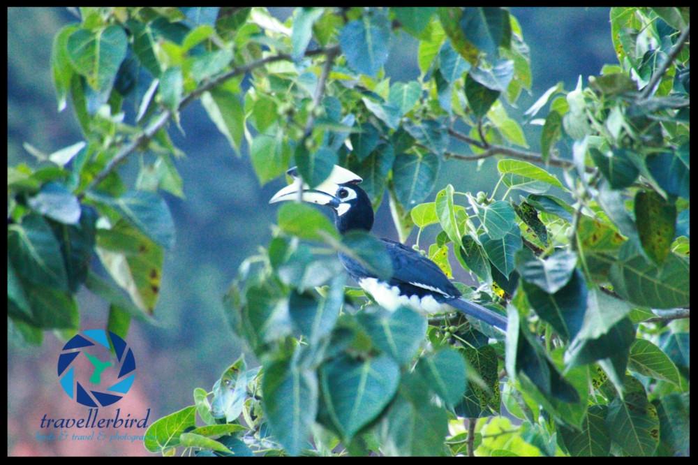 Orienthornvogel (Anthracoceros albirostris)
