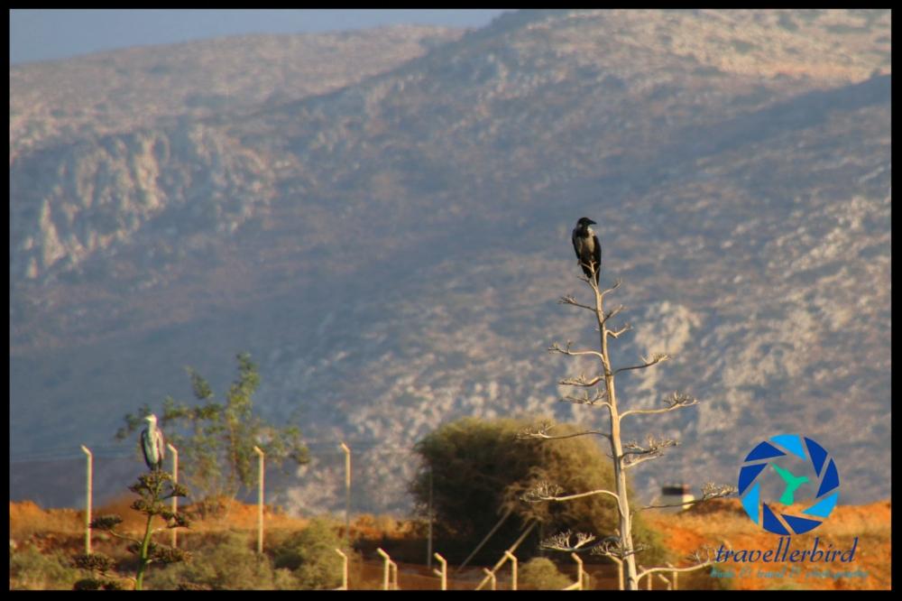 Nebelkrähe / Aaskrähe (Corvus corone)