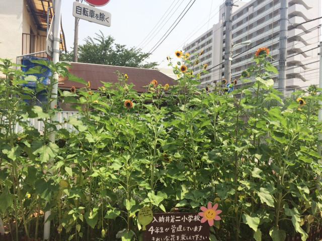 夏の花壇はひまわり畑に変身です