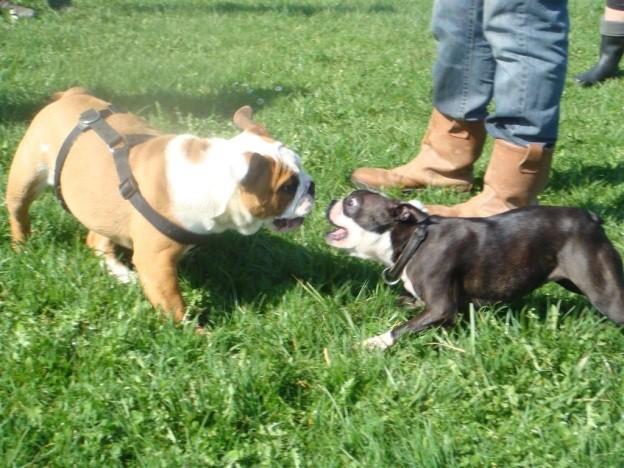 Bulldog vs boston !