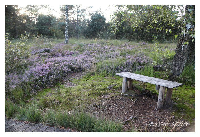 Blühende Heide