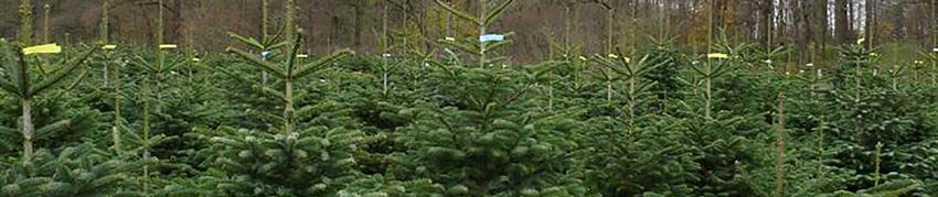 Weihnachtsbäume kaufen in Dohren - Hof Wentzien