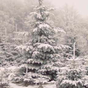 Weihnachtsbaumverkauf Hof Wentzien Dohren