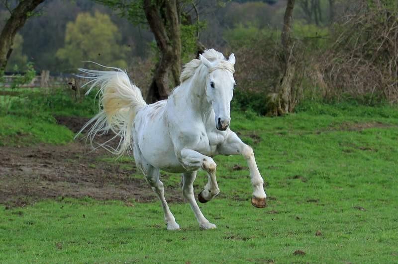 Higgins - Pferd, Wiese, Galopp, Schimmel