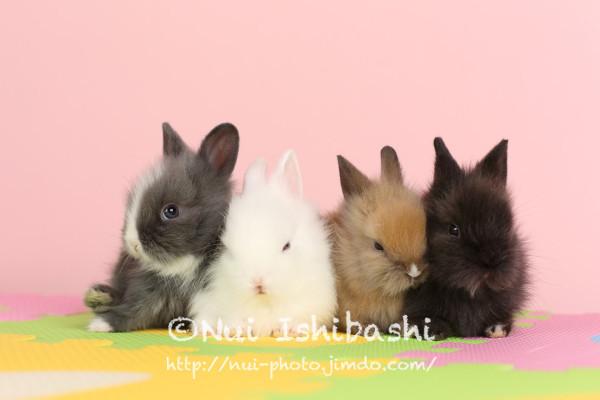 【150514_0106】うさぎ/室内スタジオ/ミニウサギ