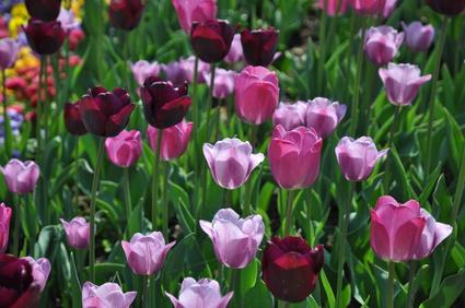 Dunkelrote Tulpen mit Tulpen in Rosa und Pink