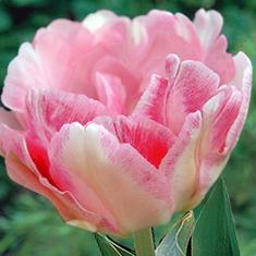 Gefüllte späte Tulpe 'Angelique' - zartrosa päonienblütige Tulpe