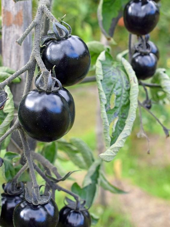 5   Tomatensamen INDIGO ROSE  Samen Tomaten Sämereien Tomaten Samen