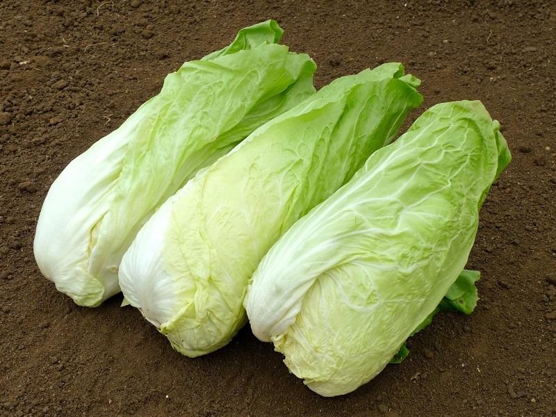 Super Bio-Saatgut Zuckerhut-Salat 'Nettuno TT' - raimund Biogartenbedarf #LP_08