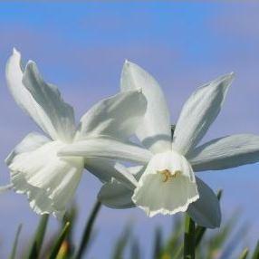 Narcissus triandus Thalia - Narzissen-Zwiebeln - Blumenzwiebelversand
