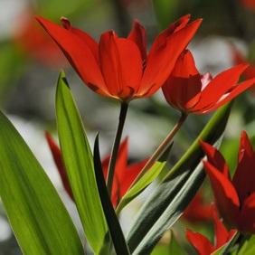 Wildtulpe Tulipa praestans Zwanenburg - orange-scharlach, mehrblütig