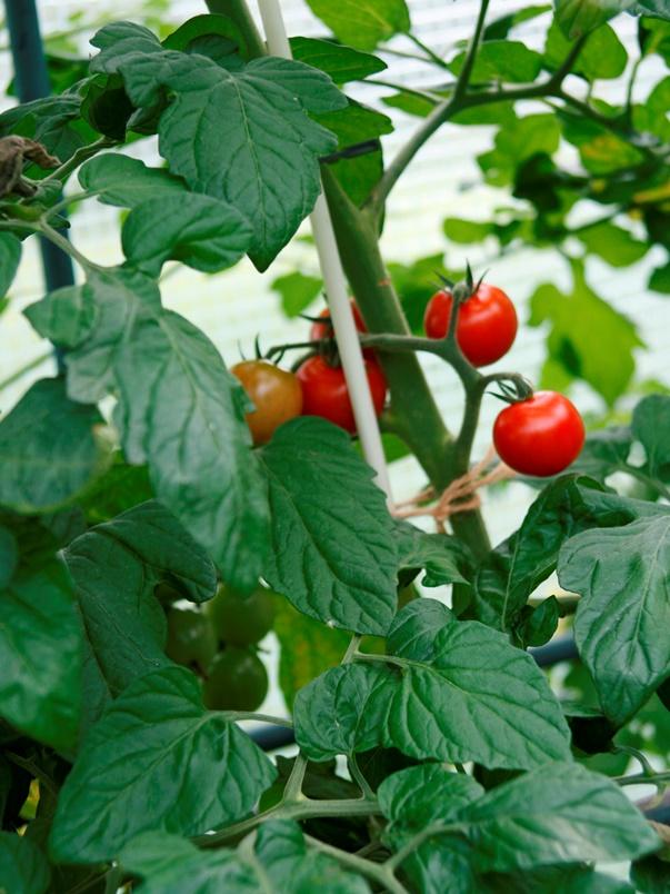 Vinotto® Pflanzstab Fiberglas 7.5-1400 - Glasfiberpflanzstab für Gemüse