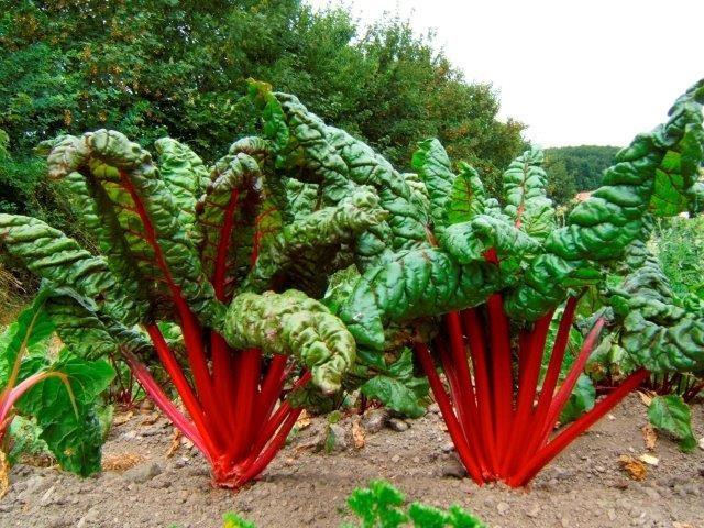 Bio Saatgut Mangold Feurio Raimund Biogartenbedarf