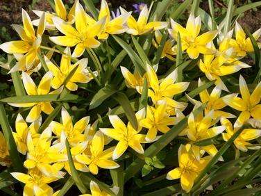 Wildtulpe Tulipa tarda - gelb mit weißem Rand, mehrblütig