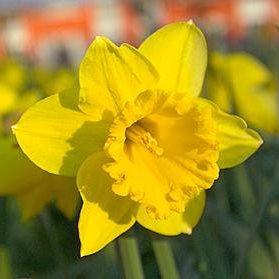Narcissus Tete a Tete - Narzissen-Zwiebeln - Blumenzwiebelversand