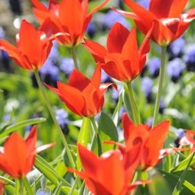 Scharlachrote Wildtulpen Tulipa praestans Zwanenburg und Traubenhyazinthen