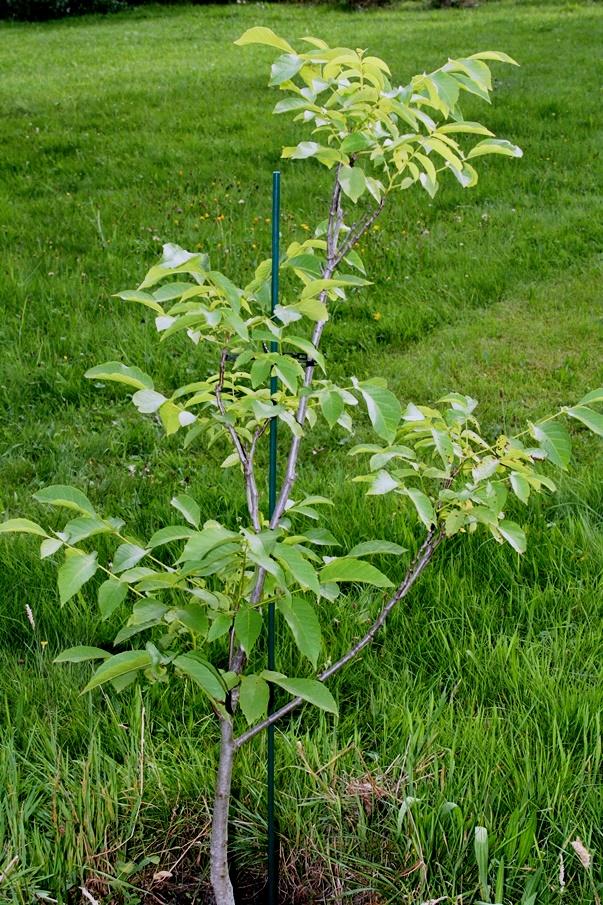 Fiberglaspfahl für jungen Walnussbaum - Marke Vinotto®