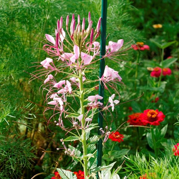 Fiberglas-Pflanzstab als Staudenstütze für Spinnenblumen - Marke Vinotto®