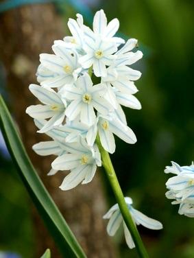Puschkinia scilloides var. libanotica Alba - Scheinscilla, weiß