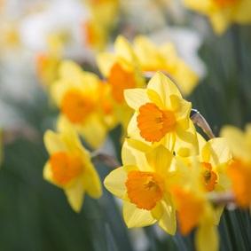 Gelbe Narzissenwiese