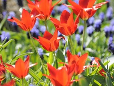 Wildtulpe Tulipa praestans Zwanenburg - orangescharlach, mehrblütig