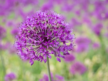 Allium 'Purple Sensation' - zur Verwilderung - Kugellauch