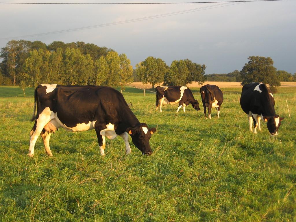 Les vaches du Boistier