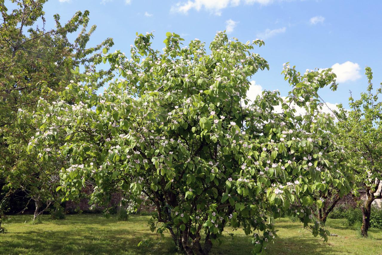 Cognassier du jardin potager - Gite du Boistier - Préaux du Perche