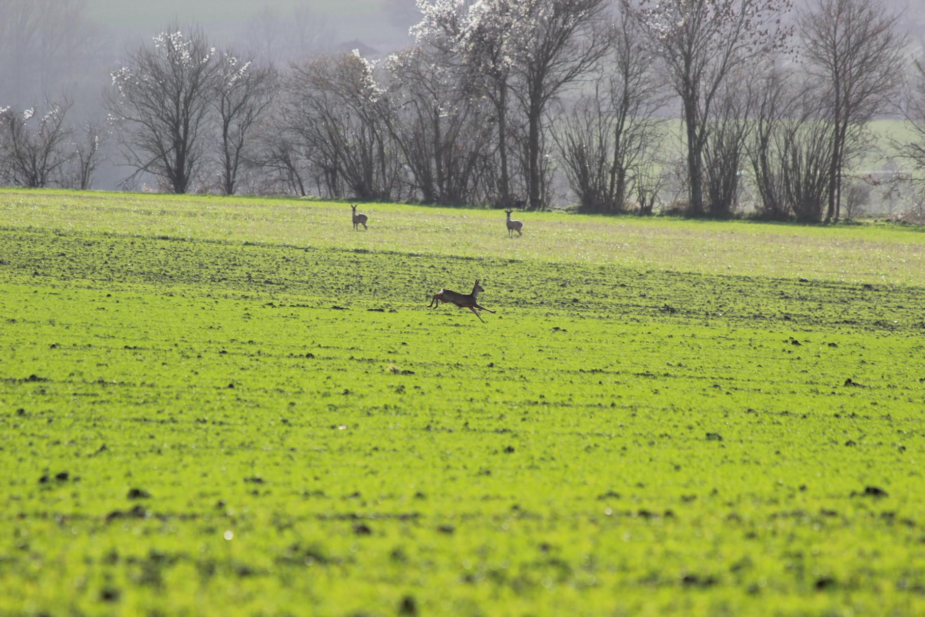 Les chevreuils du Boistier
