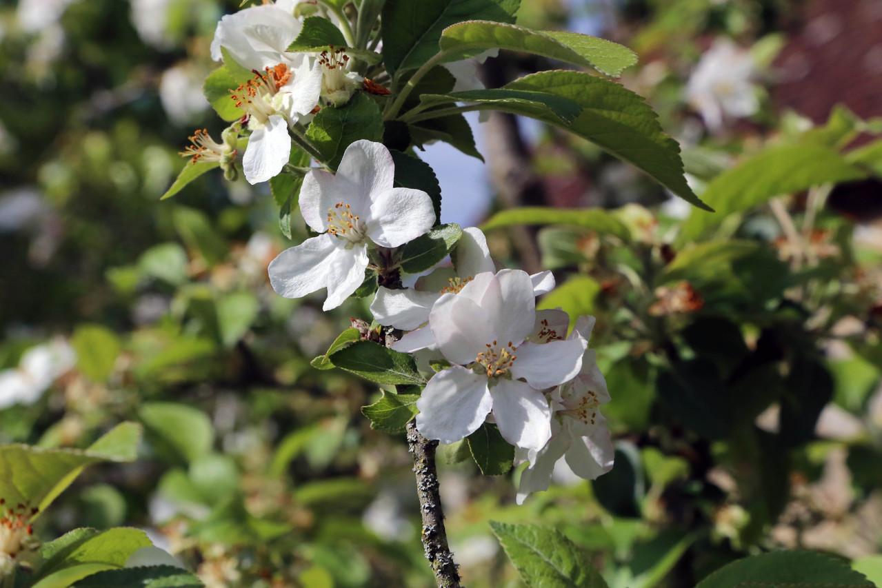 Fleur de pommier - Gite du Boistier - Préaux du Perche