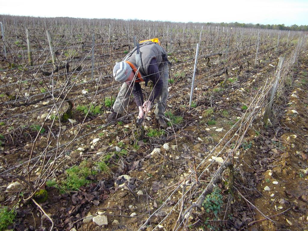 Le nettoyage des pieds de vigne est très important