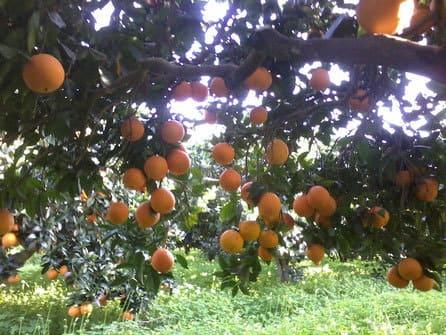 azienda tortorici Ribera - Vendita arance di ribera