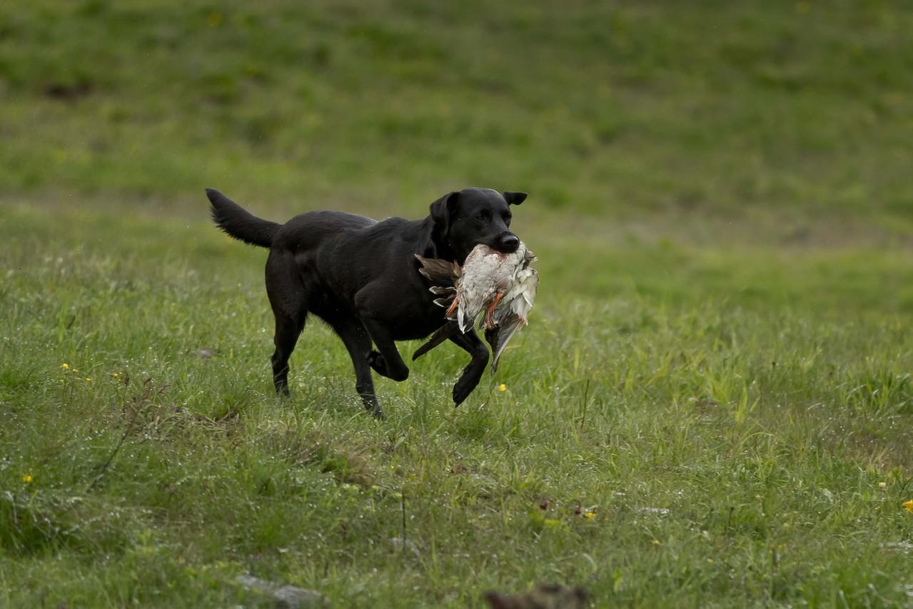 Ivy beim jagdlichen Training mit fast 4 Jahren