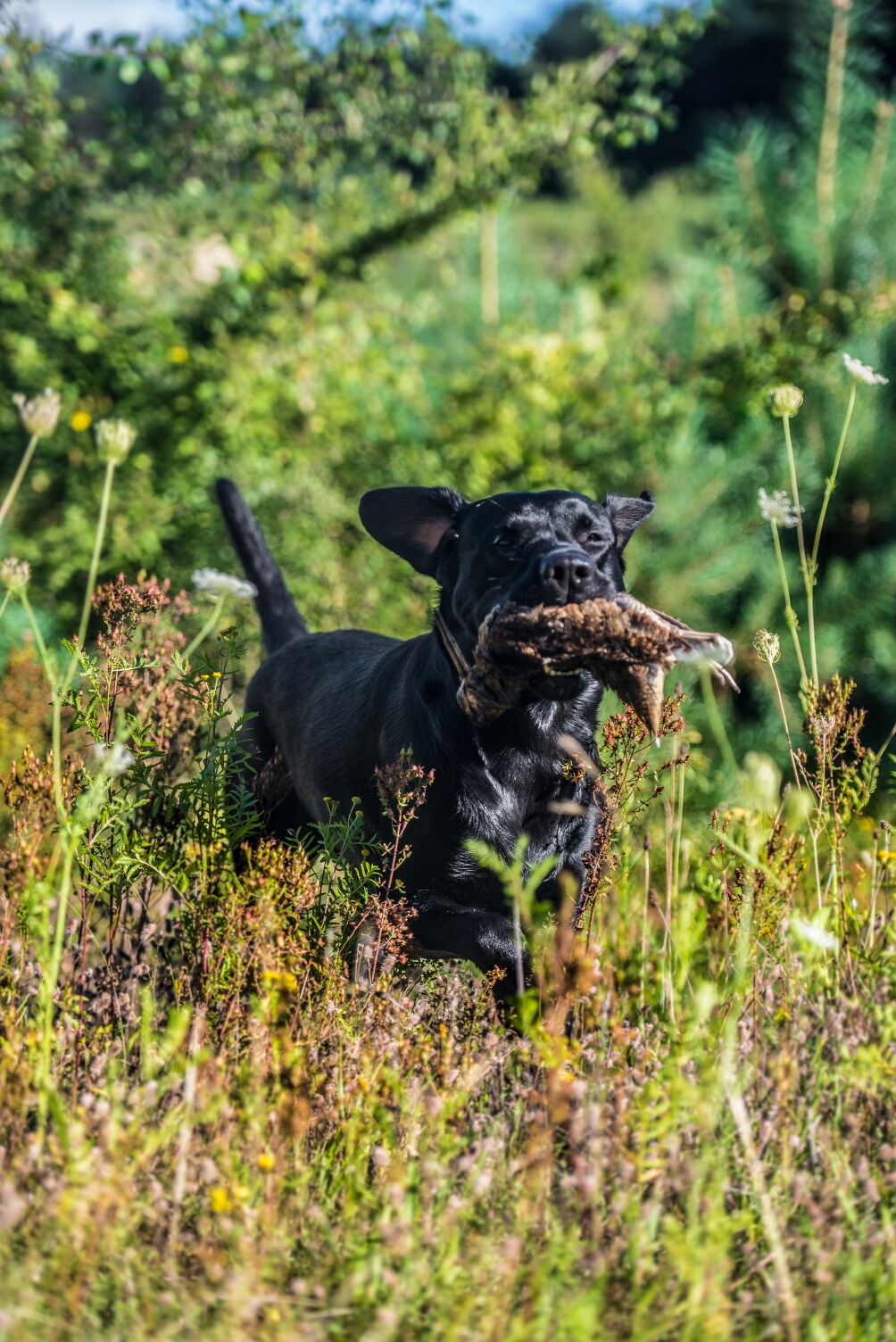 Baxter auf der Jagd