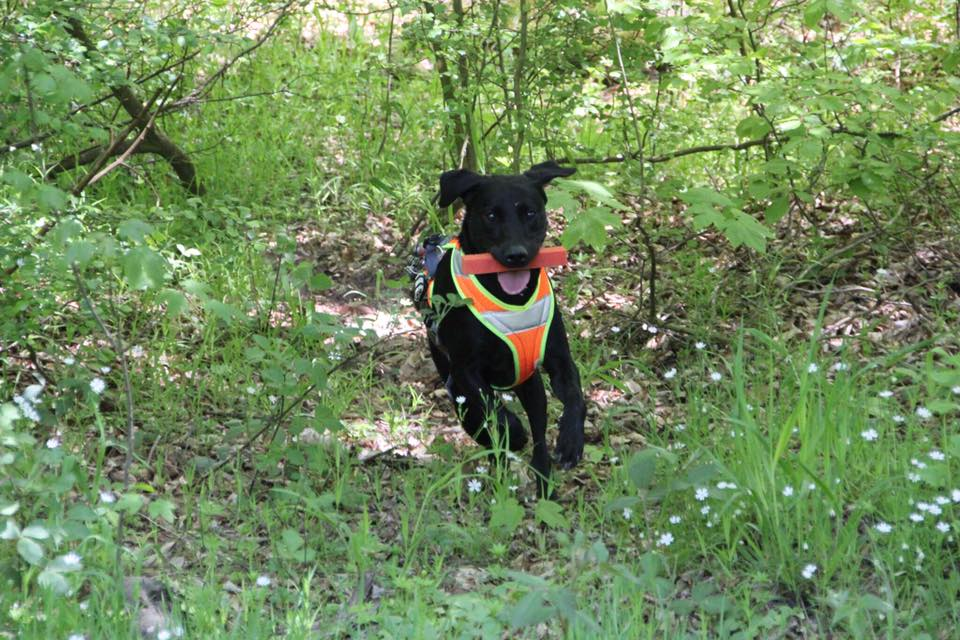 Bailey bei der Ausbildung zum Rettungshund mit 2 Jahren