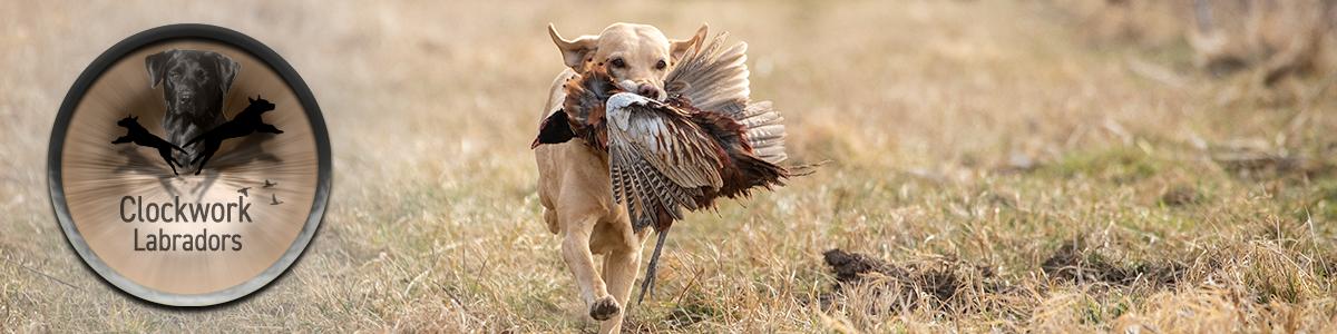 Field Trial Labradors Zucht Osterreich Tirol Clockwork Labradors