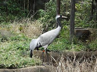 ※ クロヅル(飼育鳥)