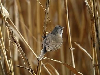 コノドジロムシクイ 2008年1月26日 東京葛飾 背から腰は灰褐色で、翼と尾は黒褐色。羽縁は灰褐色。