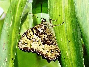 ※ キマダラヒカゲ  ・後翅裏面の色や斑紋に、サト/ヤマ両方の特徴が出ている。
